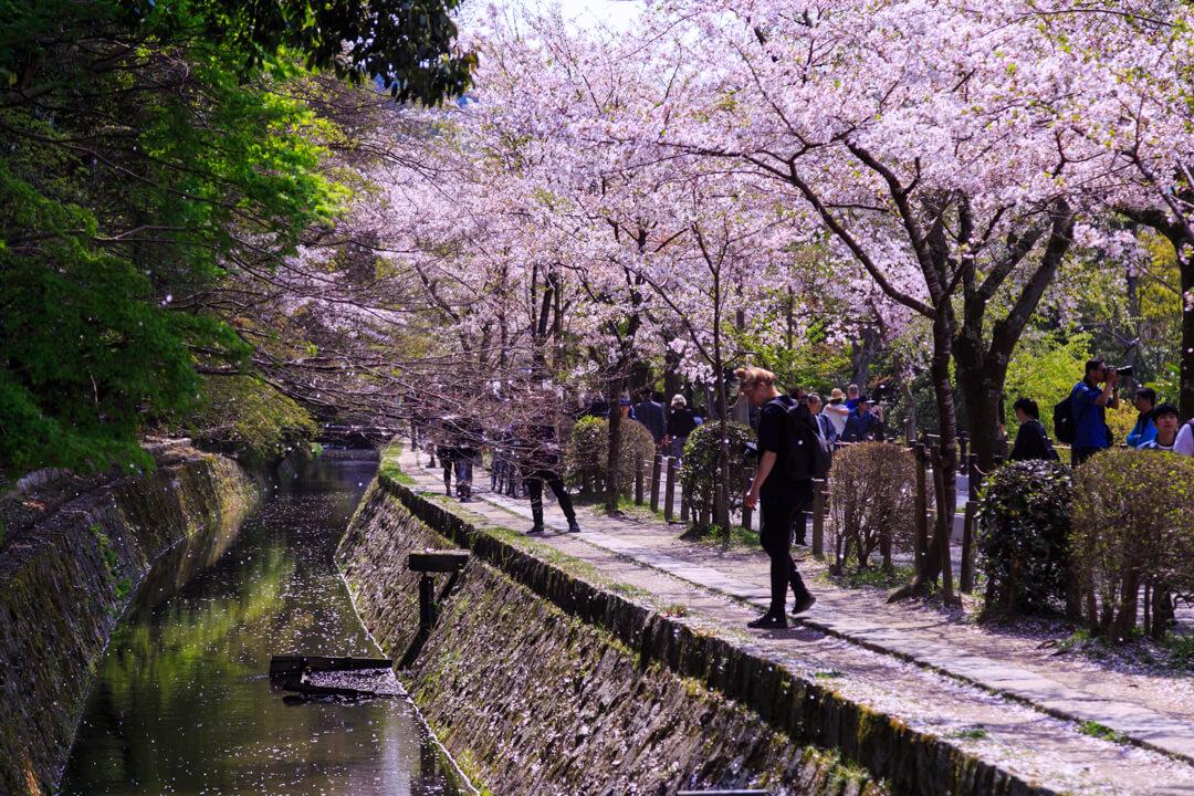 桜が咲く哲学の道の写真