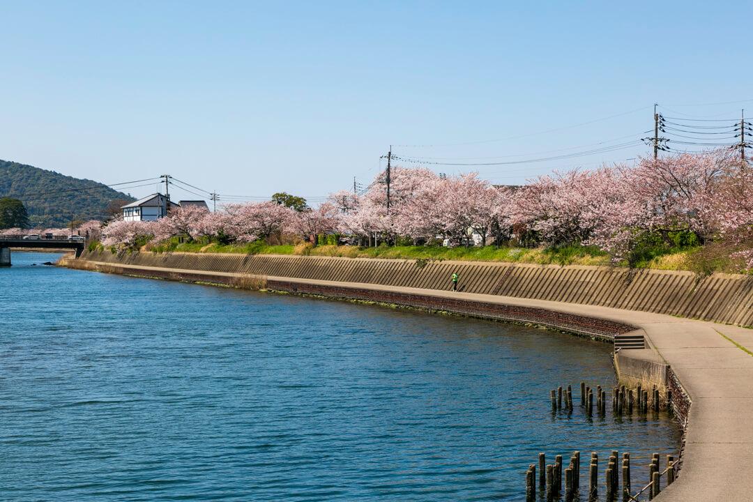 萩・橋本川に咲く桜並木